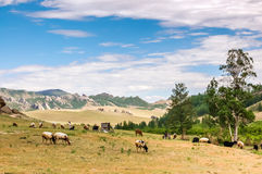 Grazing sheep and goats on grassland landscape Royalty Free Stock Photos