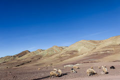Grazing sheep and goats  on stony ground plains Stock Photos