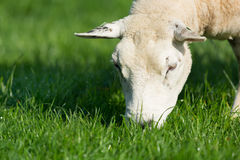 Grazing sheep Royalty Free Stock Image