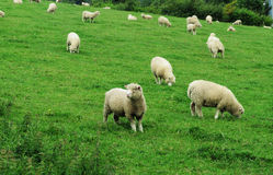 Grazing Sheep in a grassy meadow Royalty Free Stock Photo