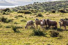 Grazing sheep. Sheep graze on the green hill Royalty Free Stock Photos