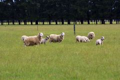 Grazing Sheep on green field Royalty Free Stock Images