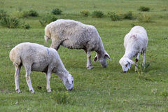 Grazing sheep. On green field Royalty Free Stock Photo