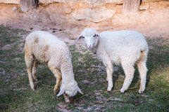 Grazing sheep Stock Image