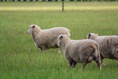 Grazing sheep on green field Stock Image