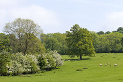 Grazing sheep on green grassy meadow next to woodland Stock Photo