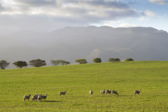 Grazing sheep on green pastures. Early morning scene with sheep grazing on green pastures and mountains in the background Royalty Free Stock Images