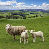 Grazing sheep  and  green picturesque landscape Royalty Free Stock Image