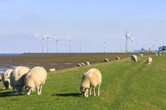 Grazing sheep upon Groningen dike near Eemshaven Royalty Free Stock Photos