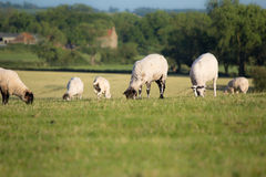 Grazing sheep. A group of sheep grazing in a field Royalty Free Stock Image