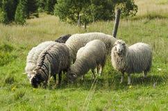 Grazing sheep Royalty Free Stock Image