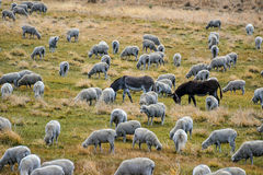Grazing sheep with guardian donkeys Stock Images