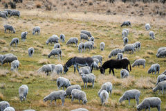 Grazing sheep with guardian donkeys. Grazing herd of sheep with donkeys as livestock guardians against coyotes, wolfs and other predators Royalty Free Stock Photo