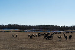 Grazing sheep. Herd of grazing sheep by early springtime in a landscape with some remaining snow stock photo