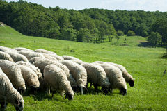 Grazing sheep herd. On green field royalty free stock images