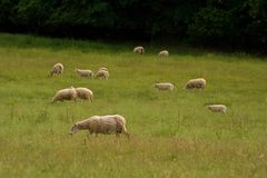 Grazing sheep herd in the green steppe Royalty Free Stock Photo