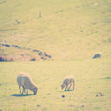 Grazing Sheep Instagram Style Royalty Free Stock Photography