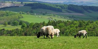 Grazing sheep and lambs Royalty Free Stock Photography
