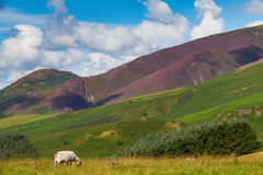 Grazing sheep in Latrigg overlooking Keswick and Derwent Water, Royalty Free Stock Images