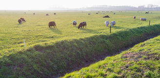 Grazing sheep in low afternoon backlit Royalty Free Stock Photos