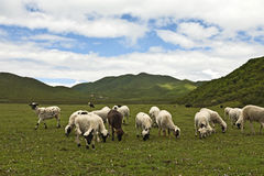 Grazing Sheep in a Lush Meadow Stock Photography