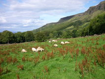 Grazing Sheep, Antrim, Ireland. A meadow with grazing flock of sheep and the Glens of Antrim at the background royalty free stock photography