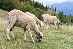 Grazing sheep on the meadow. Three grazing sheep on the meadow in the mountains royalty free stock image