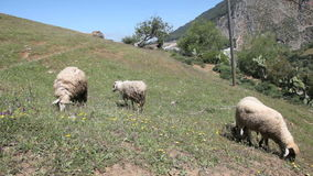Grazing sheep in Morocco stock video