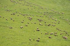 Grazing sheep on the mountain Stock Photos