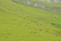 Grazing sheep on the mountain Stock Image
