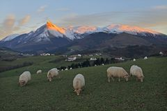 Grazing sheep with mountains Stock Photo