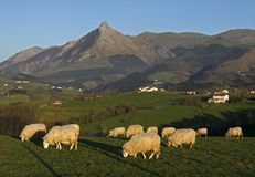 Grazing sheep with mountains Royalty Free Stock Image