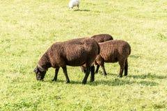 Grazing sheep in Switzerland. Grazing sheep near Guttannen in Switzerland Stock Photography