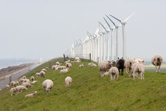 Grazing sheep near windmills along a dutch dike Stock Photos