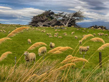 Grazing sheep in New Zealand Stock Photography