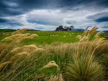 Grazing sheep in New Zealand Royalty Free Stock Photography