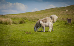 Grazing sheep. In North York Moors National Park Stock Photos
