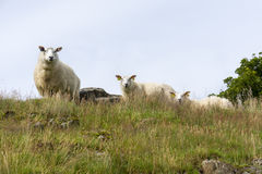 Grazing sheep in Norway Royalty Free Stock Photo