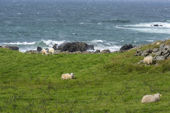 Grazing sheep in Norway Royalty Free Stock Photography