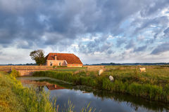 Grazing sheep on pasture by farmhouse. Holland Royalty Free Stock Photo