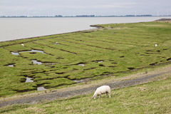 Grazing sheep at the Punt van Reide, North Netherlands Royalty Free Stock Photography