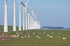 Grazing sheep beside a row of windmills Stock Image