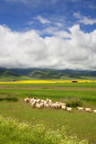 Grazing sheep. In a rural ranch Royalty Free Stock Image