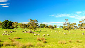 Grazing sheep in rural South Australia. Sheep grazing on a daily farm in rural South Australia Stock Image