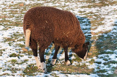 Grazing sheep in a snowy meadow Stock Images