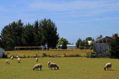 Grazing sheep on soccer field, Chiloe Island, Chile Stock Photos