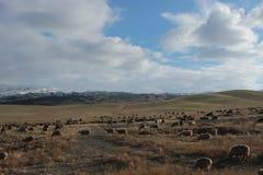 Grazing sheep in southeastern Kazakhstan Royalty Free Stock Photo