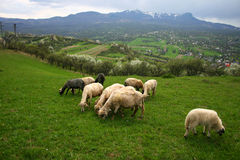 Grazing sheep on spring Stock Image