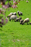 Grazing sheep spring. Grazing sheep in green grassy field in spring, farm and farming, background Royalty Free Stock Images