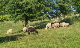 Grazing sheep in sunny ambiance Stock Photos